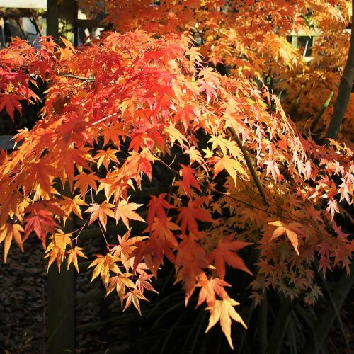 Acer in glorious autumn colours
