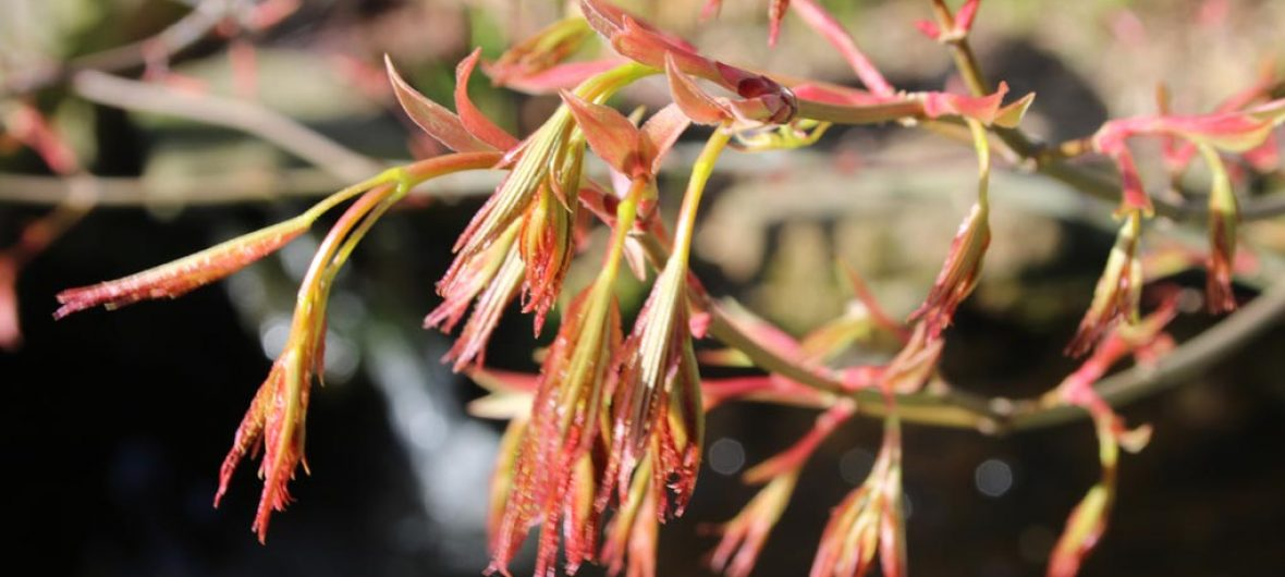 acer opening